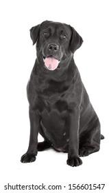 Labrador retriever on a white background in studio