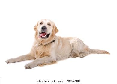 Labrador retriever on a white background