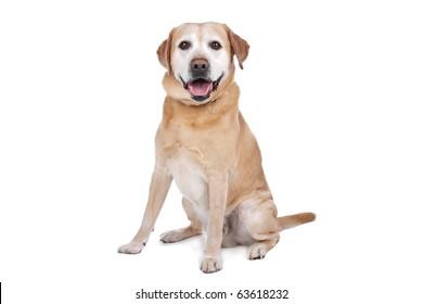 Labrador Retriever over white
