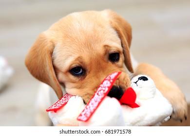 Labrador Retriever Pale Colors