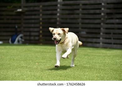 Labrador retriever playing dog run