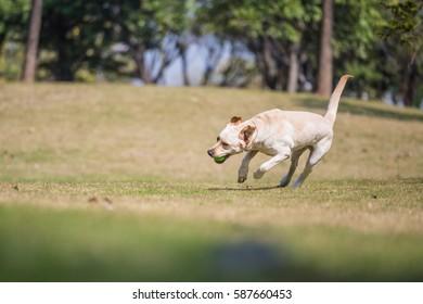 The Labrador retriever playing on the grass
