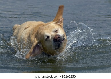 Labrador retriever playing in the water