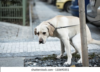 Labrador retriever pooing with sad eyes