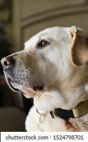 Labrador retriever posing, mature golden labrador dog