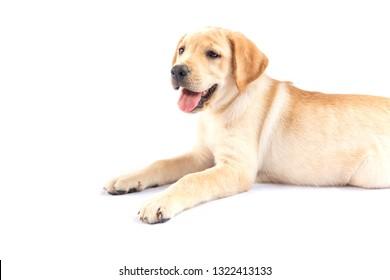 Labrador Retriever puppies on white background.