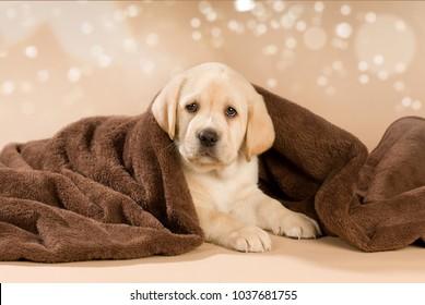 Labrador retriever puppy with blanket on beige background