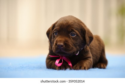 Labrador Retriever puppy with bow lying down