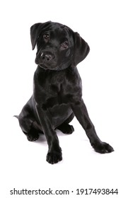 Labrador Retriever Puppy dog isolated on a white background