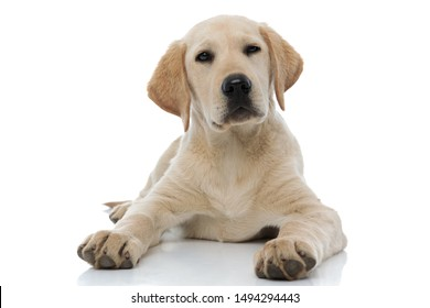 labrador retriever puppy dog lying down on white background