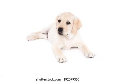 Labrador Retriever puppy dog on a white background