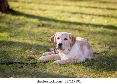 Labrador Retriever Puppy Dog in a park