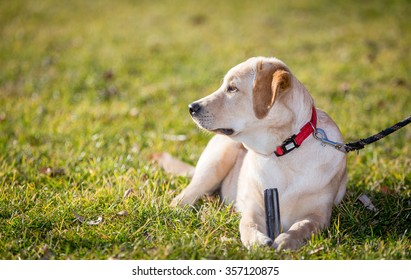 Labrador Retriever Puppy Dog in a park at dressage lesson
