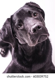 Labrador retriever puppy, dogs, five month isolated white background