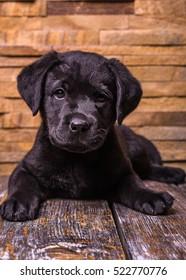 Labrador retriever puppy, dogs, wooden background