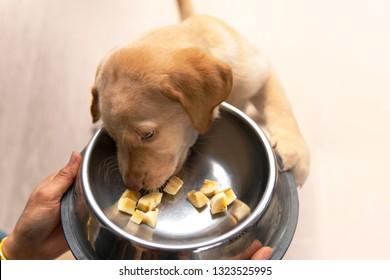 Labrador retriever puppy eating banana sliced in a dog bowl.