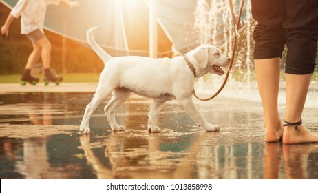 Labrador Retriever puppy happily before water fountains on a leash in a park by sunset - going for a walk with a dog