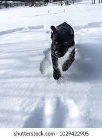 Labrador retriever puppy having fun with snow