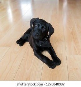 Labrador retriever puppy lies on the floor and looks into the camera. Cute little black labrador retriever dog. Pet. Dog is man's best friend.