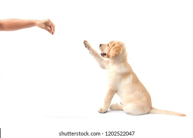 Labrador retriever puppy look at something. Dogs need to be trained the basic discipline they need.