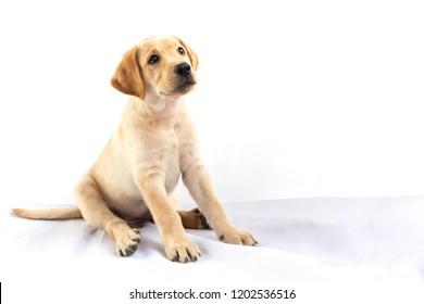 Labrador retriever puppy look at something.
