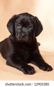 Labrador Retriever puppy on background