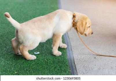 labrador retriever puppy pee in the artificial grass on training