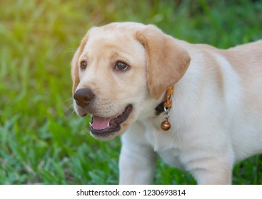 labrador retriever puppy play in the backyard and look at something