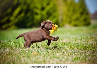 labrador retriever puppy playing outside