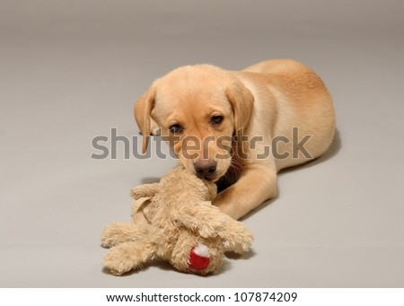 Labrador Retriever Puppy Playing Stuffed Animal Stock Photo Edit