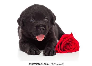 Labrador retriever puppy with red flower