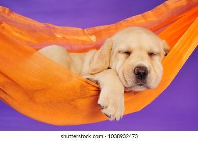 Labrador retriever puppy sleeping in a hammock