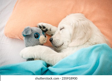 labrador retriever puppy sleeping with toy on the bed