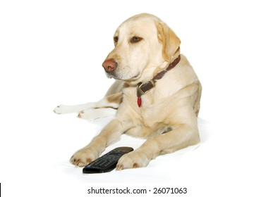 Labrador Retriever with remote control. Yellow Lab, on white background