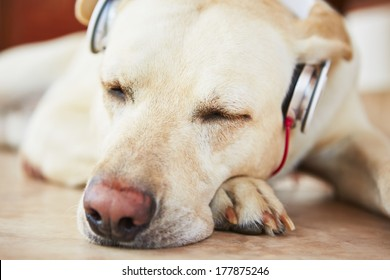 Labrador retriever is resting and listening music.