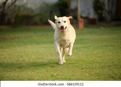 Labrador Retriever run in grass field