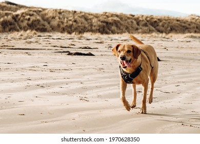 Labrador retriever running on Boulmer Beach on the Northumberland coast, England, UK