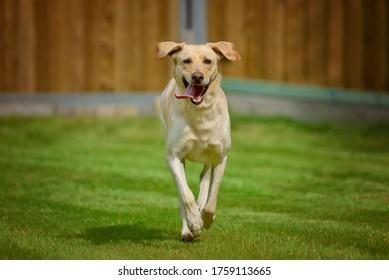 Labrador retriever running on the grass in the park