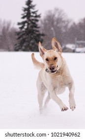 Labrador retriever running in the snow Very expressive and athletic dog,