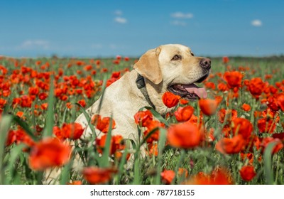 Labrador retriever is sitting in the middle of poppy field. Kazakhstan, Almaty surroundings.