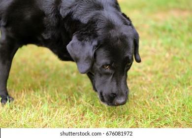 Labrador Retriever smell grass