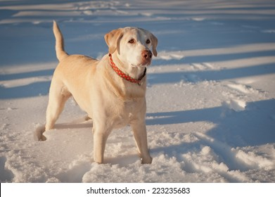 A labrador retriever stands at attention waiting for the ball to be thrown so he can jump in the snow and retrieve.