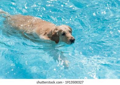 Labrador retriever swimming in the pool