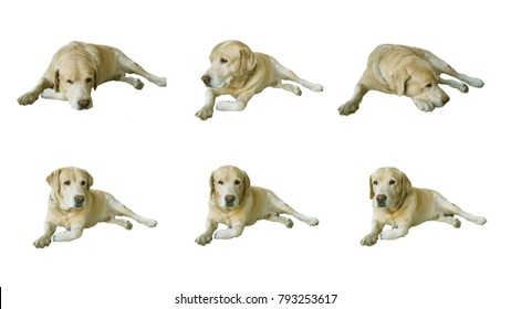Labrador Retriever in various emotions, white background, selective focus on face