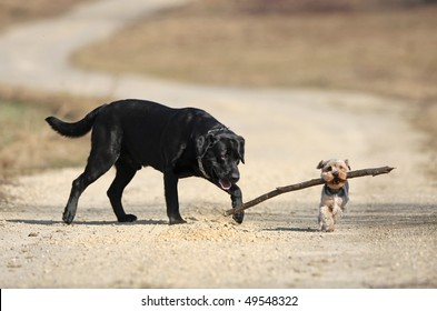 Labrador retriever and yorkshire terrier playing with stick