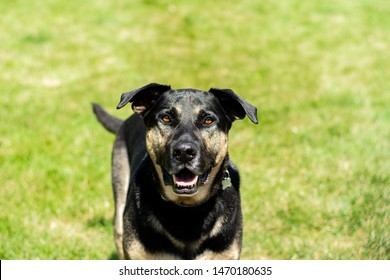 Labrador Retriever/German Shepard mix dog looking at you on a sunny, summer day.