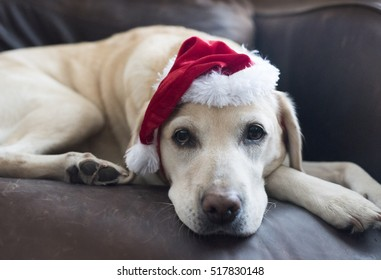 Labrador santa
