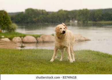 Labrador shaking off after jump into water