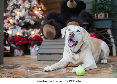 A Labrador sits by the Christmas tree with his tennis ball waiting for someone to play with him.