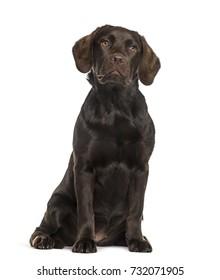 Labrador sitting, isolated on white
